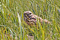 Burrowing Owl (14727051335).jpg