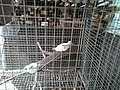 Burung perkutut albino.jpg