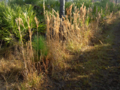 Bushy-Bluestem (5625748096).png
