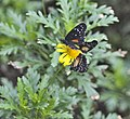 Butterflies on yellow flower (5547462332).jpg
