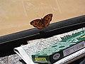 Butterfly-1-jaffna-Sri Lanka.jpg