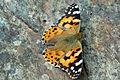 Butterfly (6097830980).jpg