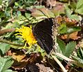 Butterfly Mammoth Lakes (20140420-0049).JPG