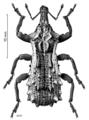COLE Curculionidae Hadramphus pittospori.png