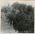 COLLECTIE TROPENMUSEUM Anaphalis javanica en Leptospermum javanicum op de top van de Pangerango TMnr 10006301.jpg