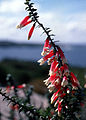 CSIRO ScienceImage 2696 The Fuchsia Heath Epacris longiflora Cape Solander NSW.jpg