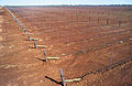 CSIRO ScienceImage 4695 New McWilliams Wines vineyard with dripper irrigation system Griffith NSW.jpg