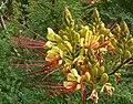 Caesalpinia gilliesii 2.jpg