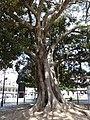 Cagliari Ficus trees 2.jpg