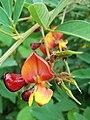 Cajanus cajan, flowers.jpg