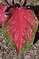Caladium 'Scarlet Flame' Leaf.JPG