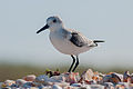 Calidris alba on Margarita island.jpg