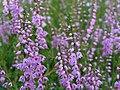 Calluna vulgaris 0662.jpg