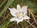 Calochortus lyallii - Flickr 003.jpg