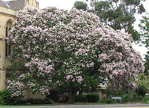 Calodendrum - Calodendrum capense