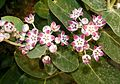 Calotropis procerra by Dr. Raju Kasambe IMG 0099 (3).jpg