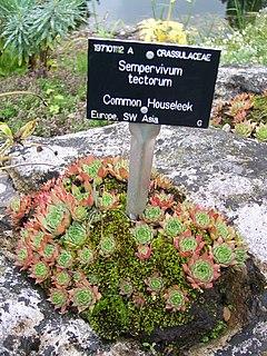 Sempervivoideae Largest of 3 subfamilies in the flowering plant family Crassulaceae