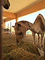 Camel in Sweihan.jpg
