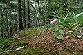 Campanula punctata var. hondoensis 01.jpg