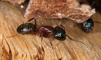 Description: This image shows a Carpenter ant ...