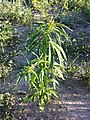 Cannabis sativa s. lat. sl1.jpg