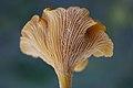 Cantharellus cibarius (5036138993).jpg