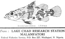 A juvenile Nile perch (Lates niloticus), postcard drawing by Mrs. Hopson, 1966, Lake Chad Research Station, Malamfatori, Nigeria