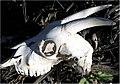 Capra hircus 0zz.jpg
