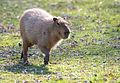 Capybara Running (8154259087).jpg