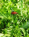 Cardinal beetle (18403130075).jpg
