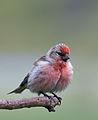 Carduelis cabaret -Lochwinnoch, Renfrewshire, Scotland -male-8.jpg