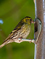 Carduelis spinus -Longshaw Estate, Peak District National Park, Derbyshire, England -female-8.jpg