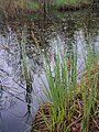 Carex elata plant (02).jpg