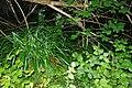 Carex pendula plant (20).jpg