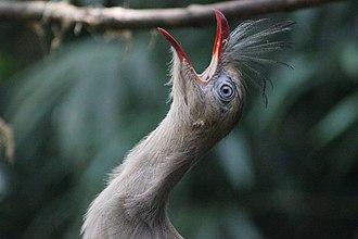 Parque das Aves - Image: Cariama cristata at Parque das Aves (Foz do Iguaçu) 1