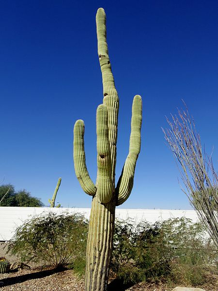 File:Carnegiea gigantea near Tucson, AZ.jpg