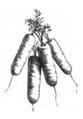 Carotte demi-longue de Carentan Vilmorin-Andrieux 1883.png