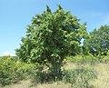Carpinus orientalis multi-stemmed.jpg