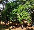 Cascabela thevetia Delhi.jpg