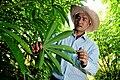 Cassava leaves in Laos.jpg