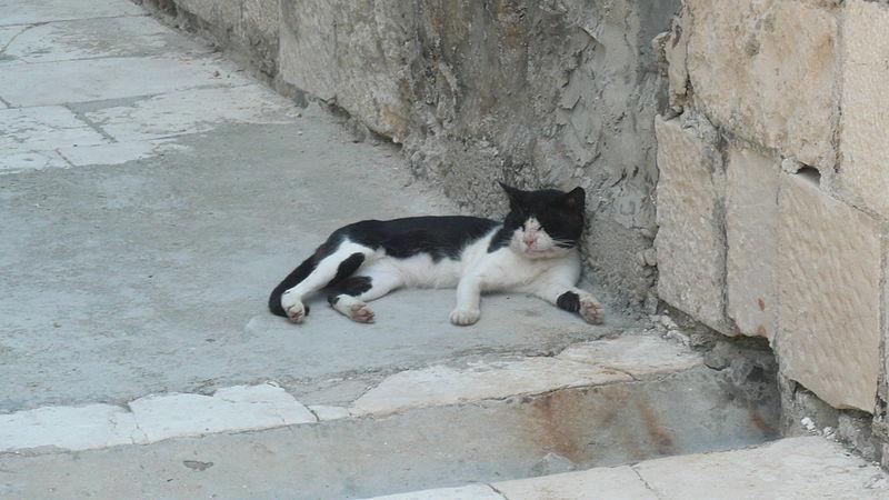 File:Cat at Palagruža.jpg