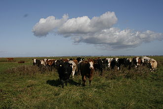 Lancashire - Cattle grazing on the salt marshes of the Ribble Estuary near Banks.