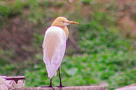 Cattle egret Nagarjun Forest Reserve Area.jpg