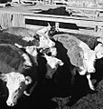 Cattle in Pen, Texas and Pacific Railway Company (16116248500).jpg