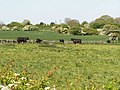 Cattle in a field - geograph.org.uk - 179650.jpg