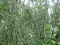 Cedar Waxwing in a Bush.jpg