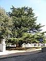 Cedro dell'Himalaya monumentale di Piazza Aldo Moro (Fiesso Umbertiano) 07.jpg