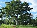 Ceiba (Ceiba pentandra) (14559605826).jpg