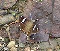 Celaenorrhinus leucocera (male) (7210490006).jpg