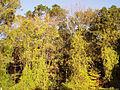 Celastrus orbiculatus 5501231.jpg